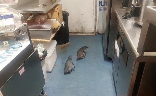 Die Pinguine haben sich in einer Sushi-Bar in Neuseeland häuslich niedergelassen. AP