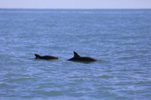 Nur noch 19 Schweinswale sollen im Golf von Kalifornien leben. AP