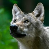 Wolfsähnliches Tier in Tirol erschossen