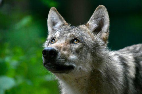 Ob es sich tatsächlich um einen Wolf handelt, soll eine DNA-Untersuchung klären.