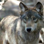 Wolf ist erstmals auf der Abschussliste
