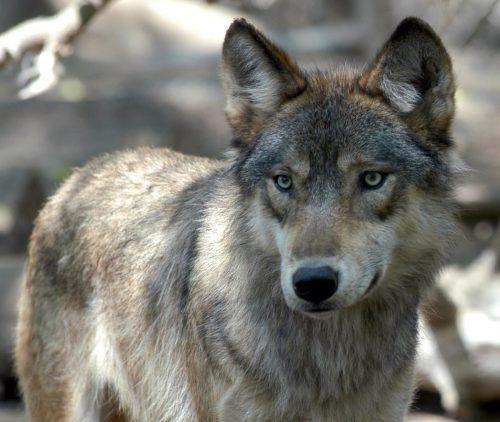 Salzburger Antrag auf Wolfsabschuss kann Folgen haben.AP