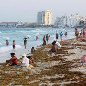 Algenplage in der Karibik ruft Experten auf den Plan