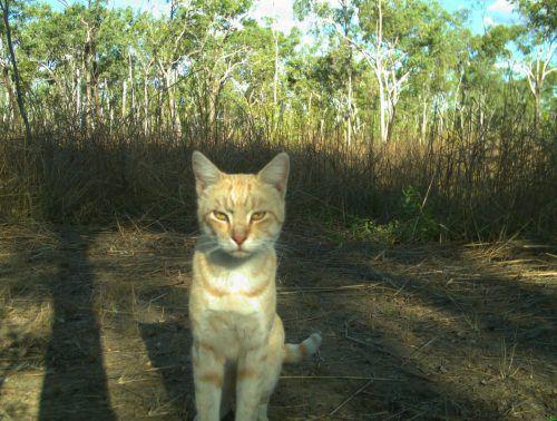 Wilde Katzen: In Australien und Ozeanien existierten Experten zufolge keine Katzen, bis die ersten Siedler Ende des 18. Jahrhunderts ankamen. Jetzt ist ihre Zahl problematisch. AFP