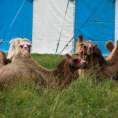 Schweiz-Verbot für Kamele