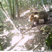 Bär in Südtirol soll zum Abschuss freigegeben werden