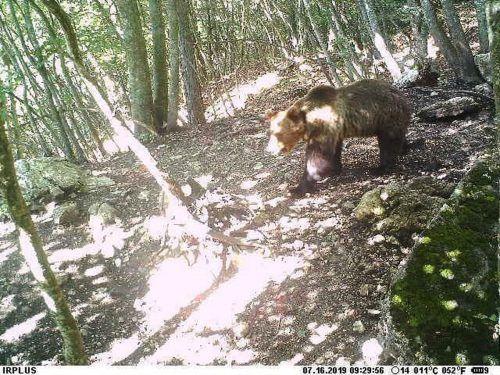 Nach dem Bären wurde seit vergangenem Juli gesucht. AP