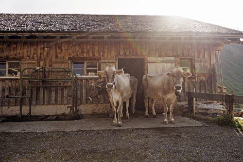 Kühe auf den Alpen können auch gefährlich werden.
