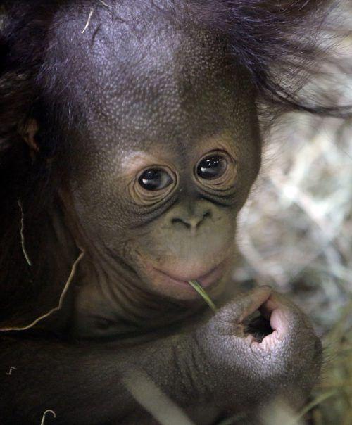 Der kleine Menschenaffe verzückt die Zoobesucher.ap