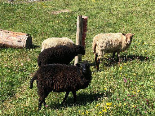 Die neuen kleinen Bewohner der Rud-Alpe haben sich bereits eingelebt. Bergbahnen lech