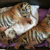 Tigerbabys in Wohnung entdeckt