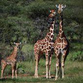 Handel mit gefährdeten Giraffen soll eingeschränkt werden