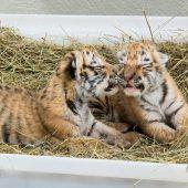 Beide Tigerbabys im Tiergarten Schönbrunn gestorben