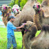 Kamele auf Zuflucht in Lustenau