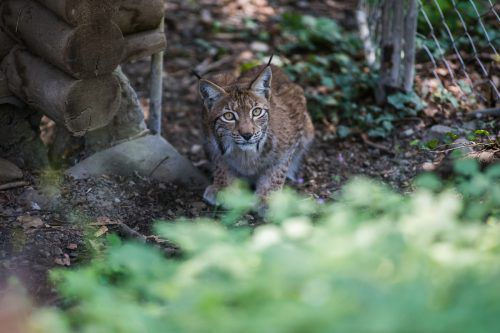 Für die einjährige Wildkatze Mira geht es aus dem Feldkircher Wildpark in die polnische Wildnis. VN/Steurer