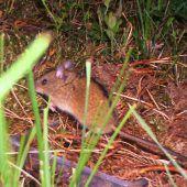 Eine Maus ist zurück in Vorarlberg