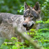 Land sieht keinen Platz für Wölfe