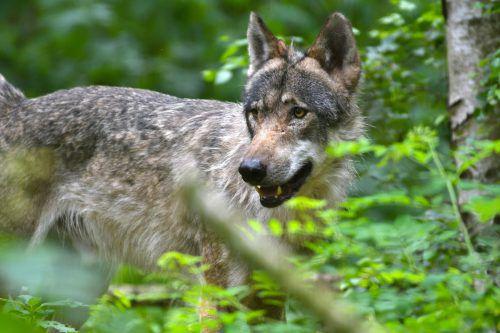 Im 19. Jahrhundert waren sie ausgerottet, jetzt sind die Wölfe wieder da und bereiten den Menschen Kopfzerbrechen. AFP