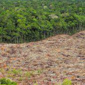 Abholzung des brasilianischen Regenwaldes rasant beschleunigt