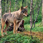 Zerfleischtes Kalb bringt Wolf in Verdacht