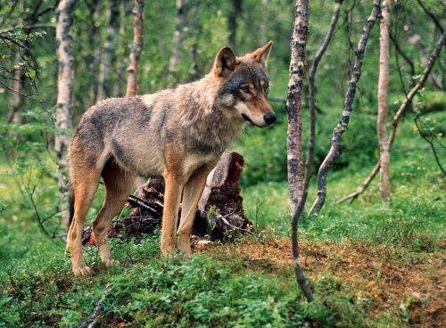 Wer immer dieses Kalb so zugerichtet hat, hat ganze Arbeit geleistet. Der Besitzer glaubt, dass ein Wolf sein Tier getötet und fast aufgefressen hat. Bilgeri, APA