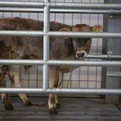 Verdacht auf Rinder-TBC im Walgau führt zu Betriebssperre