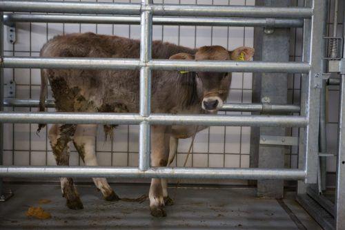 Bei Verdacht auf Rinder-TBC müssen die betroffenen Tiere geschlachtet werden. Oft wird der Erreger erst im Schlachtfleisch entdeckt. VN/Hartinger