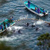 Japan macht wieder Jagd auf Delfine und kleine Wale