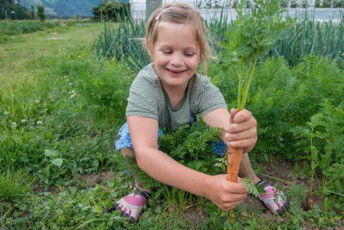 Die Gemüseernte fällt heuer zufriedenstellend aus. Besonders Sellerie und Kohlgewächse gediehen prächtig. VN/Lerch