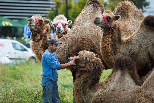 Die Kamele im Millenniumpark Lustenau sind ein attraktiver Blickfang. VN/Paulitsch