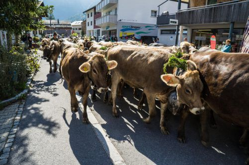 Die Tiere haben den Alpsommer hinter sich und werden nun wieder ins Tal gebracht.