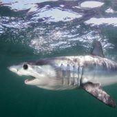 Haifischflossen als Delikatesse