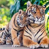 Schmuse-Tiger
