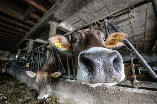 Die Testung der Tiere eines Oberländer Betriebs auf den Rinder-TBC-Erreger brachte ein niederschmetterndes Ergebnis. VN/Sams