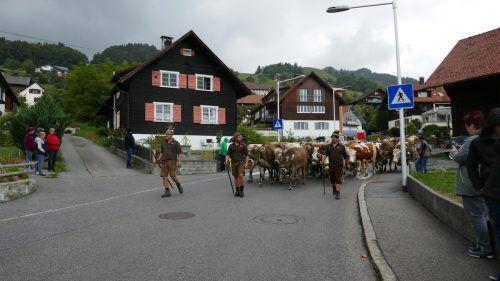 """Gegen 13 Uhr werden am Samstag die Kühe der Alpen Maiensäß und Staffel durch das Dorf ziehen. Am Ziel, dem Gebiet """"Fäscha"""", gibt es Verpflegung für Älpler und Zuseher."""