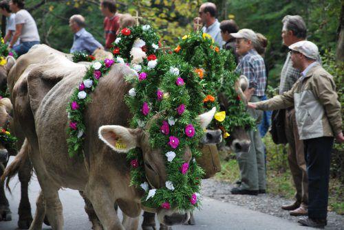 Nach einem guten Alpsommer ziehen die Älplerinnen und Älpler gemeinsam mit ihrem Vieh im September wieder ins Tal.stadt dornbirn