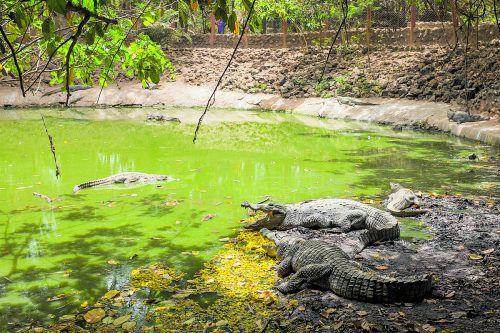 Weil die Krokodile täglich gefüttert werden, sind sie für Besucher des Teichs keine Gefahr.