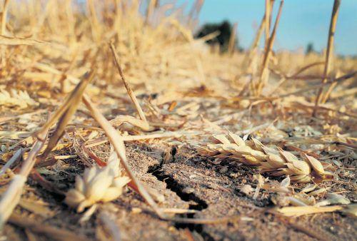 Weizen ist flächenmäßig das meist angebaute Getreide der Welt. APA