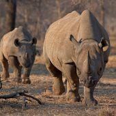 Erschreckende Zunahme der Nashorn-Wilderei in Botswana