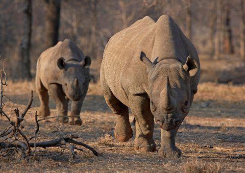 Der internationale Handel mit Nashorn-Hörnern ist verboten. rts