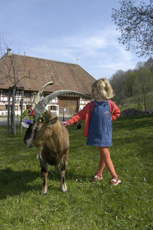 Die Begegnung mit den Museumstieren stellt eine besondere Attraktion im Bauernhaus-Museum in Wolfegg dar. Bauernhausmuseum