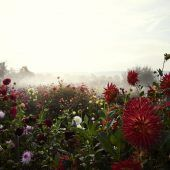 Das Dahlienparadies noch ein letztes Mal genießen