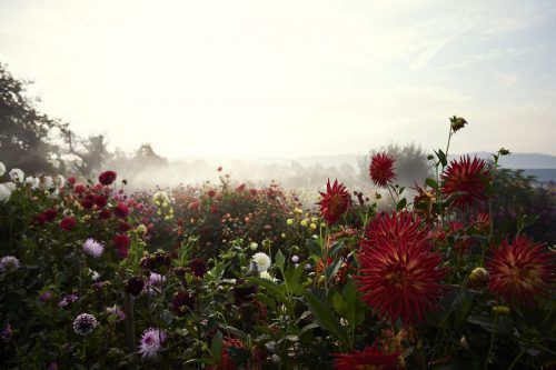 Die Dahlienschau – ein Blütenmeer aus rund 7000 Dahlien und 800 verschiedenen Sorten. hari pulko
