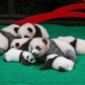 Babypandas auf Kuschelkurs