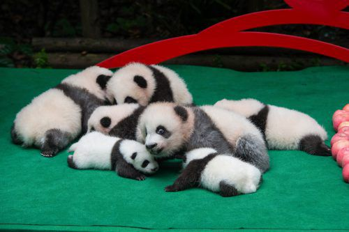 Die Panda-Aufzuchtstation hat ihren jüngsten Nachwuchs der Presse präsentiert. AFP