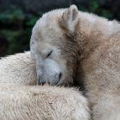 Verschmuster Eisbär