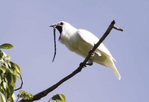 Er ist der lauteste Vogel weltweit: der Zapfenglöckner. AFP