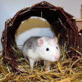 Rattenmädchen bleiben zusammen