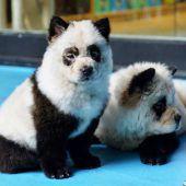 Empörung über Panda-Hunde