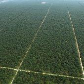 Rattenjagende Affen machen Palmölproduktion nachhaltiger